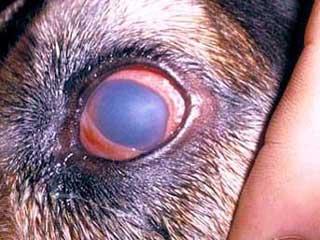 Autoimmune Dogs Eyes