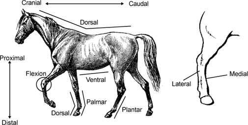 joint tendon ligament bone and foot problems rh infovets com