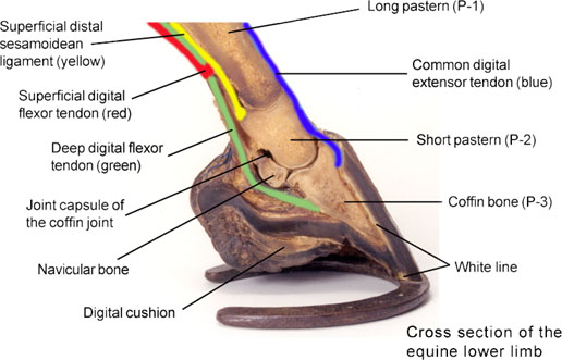 Joint Tendon Ligament Bone And Foot Problems